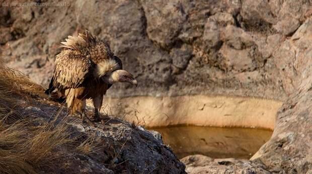 Крымские грифы