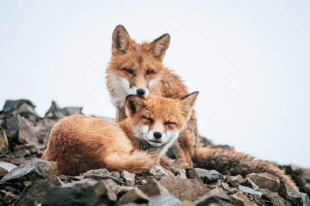 Российский горный инженер Иван Кислов прекрасно знает, как с удовольствием провести свои перерывы на отдых. Во время своей работы на Чукотке, самом северо-восточном регионе России, он снимает удивительные фотографии диких лис.