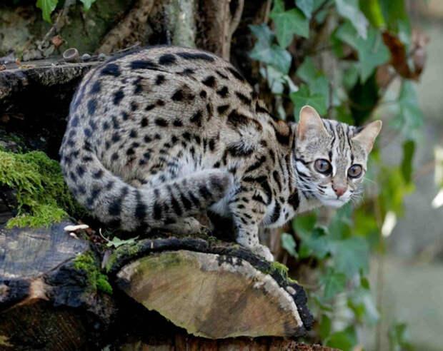19. Бенгальская кошка кошки, природа
