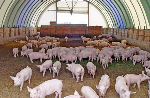 Почему евреи не едят свинину