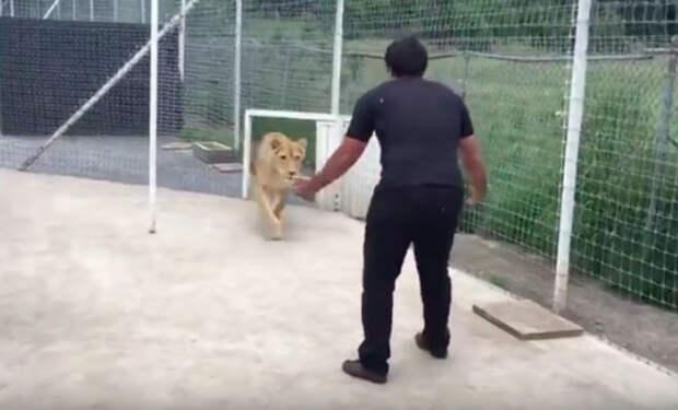 Львица встретила хозяина