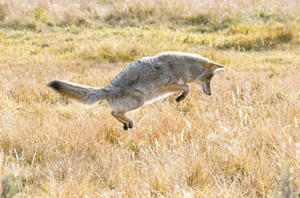 Хитрый койот со скверным характером