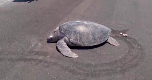 Черепаха исчезающего вида пришла на пляж отложить яйца - но там уже аэродром