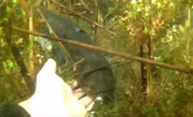 Дайвер попытался погладить сома под водой и еле успел одернуть руку