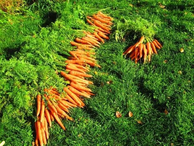 Все о выращивании моркови