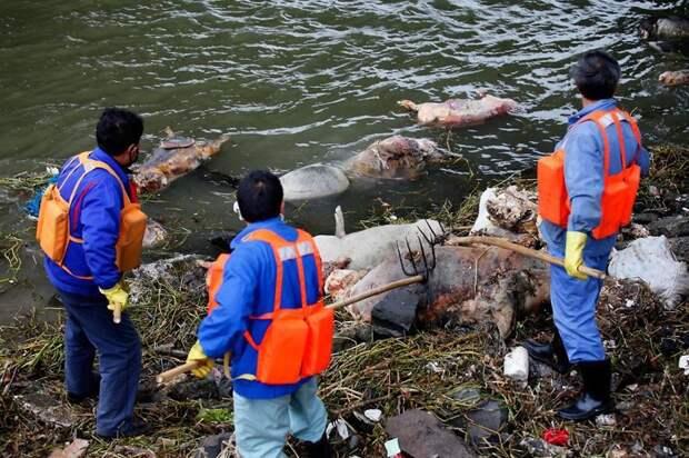 30. Более 3000 мёртвых свиней плывут по реке Хуанпу загрязнение, китай, экология