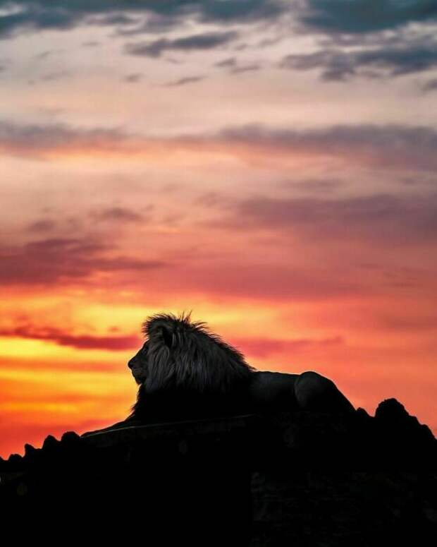 Лев на закате.