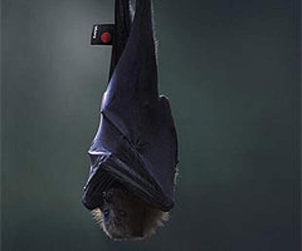 Зонтикокрылая летучая мышь