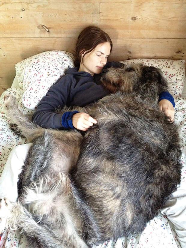 7. Ирландский волкодав очень любит спать в кровати  размер, собака