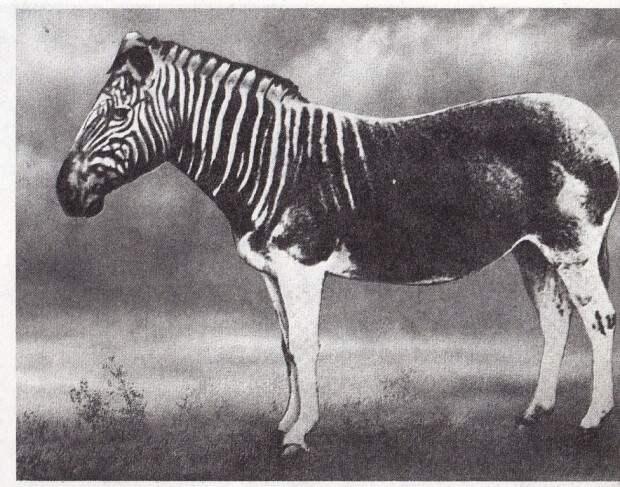 Квагга (лат. Equus quagga quagga) (англ. Quagga)