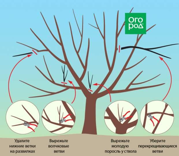 Правильная обрезки вишни и черешни осенью