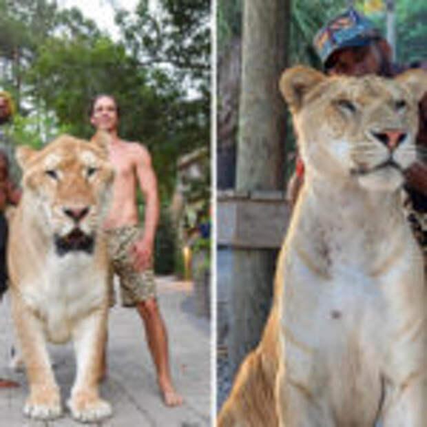 Из гибрита тигра и льва получилась огромная кошка