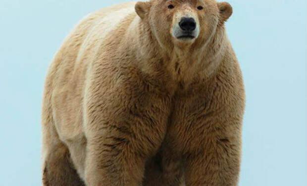 Полярный медведь побил все рекорды размеров и вышел на камеру