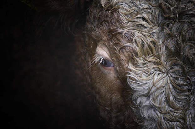 Гламурный житель на животноводческой ферме в Ирландии