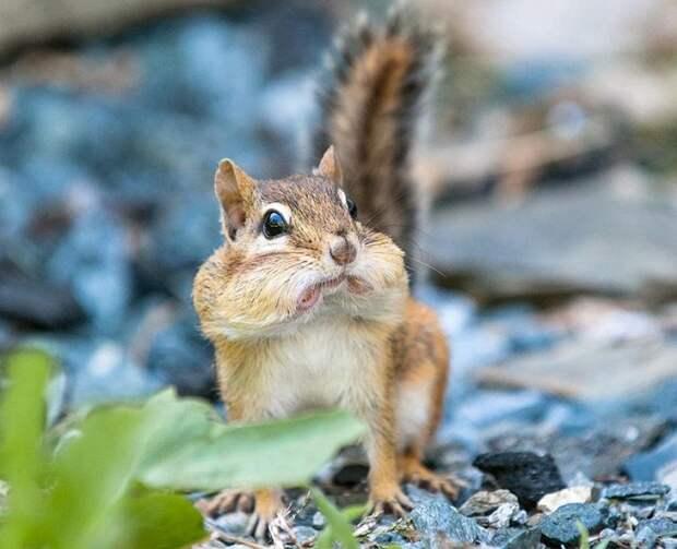 Удивленный бурундук с полным ртом арахиса.