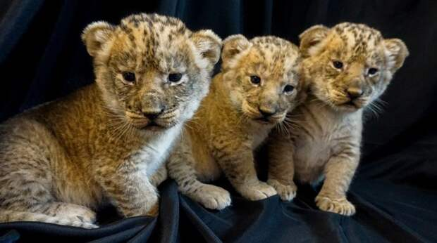 В зоопарке США родились три львенка
