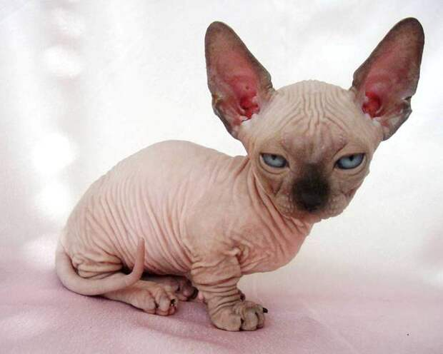 карликовые породы кошек: Минскин