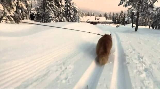 Кот из Норвегии, который любит катать лыжников