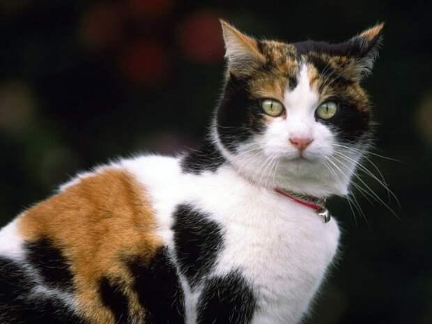 кот, приносящий удачу
