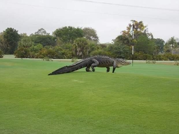 Гигантский аллигатор явился на поле для гольфа и стал звездой в Сети