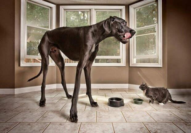47. Зевс - самая высокая собака в мире размер, собака