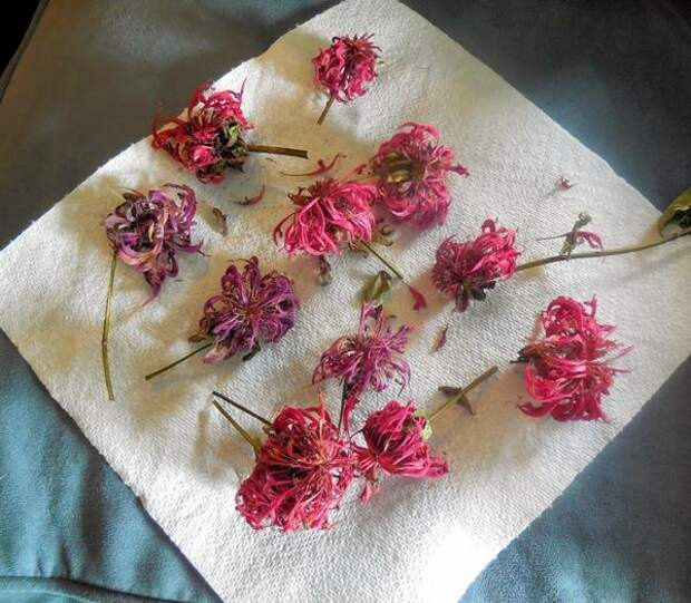 Высушенные цветки монарды. Фото с сайта 1.bp.blogspot.com
