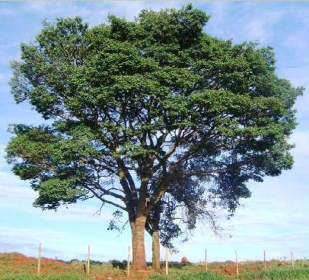 copaifera langsdorfii