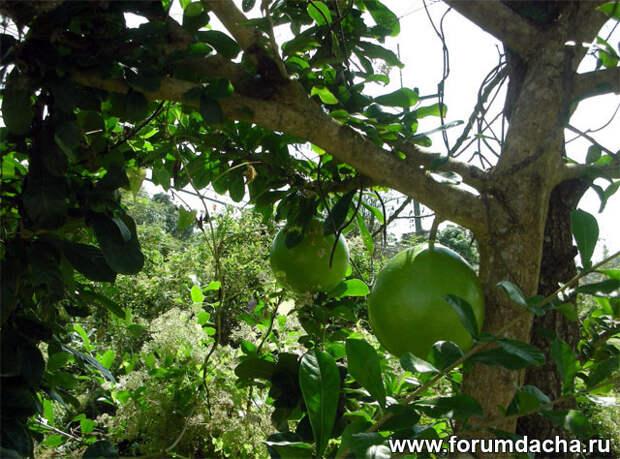 Помело, помело фото, помело в картинках, помело растет, помело фрукт,