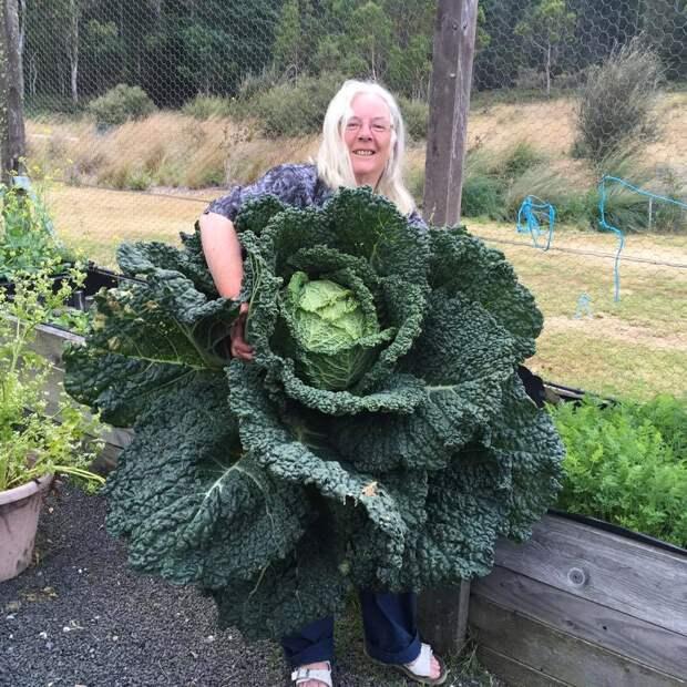 В Австралии вырастили такой большой кочан капусты, что он попал в новости