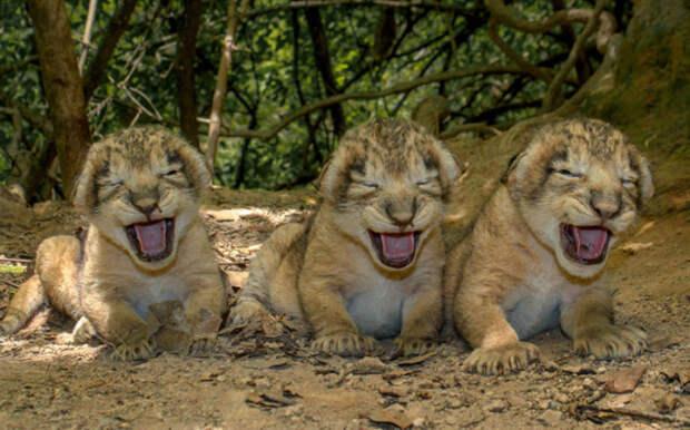 Львята на одной из своих первых прогулок, Индия.