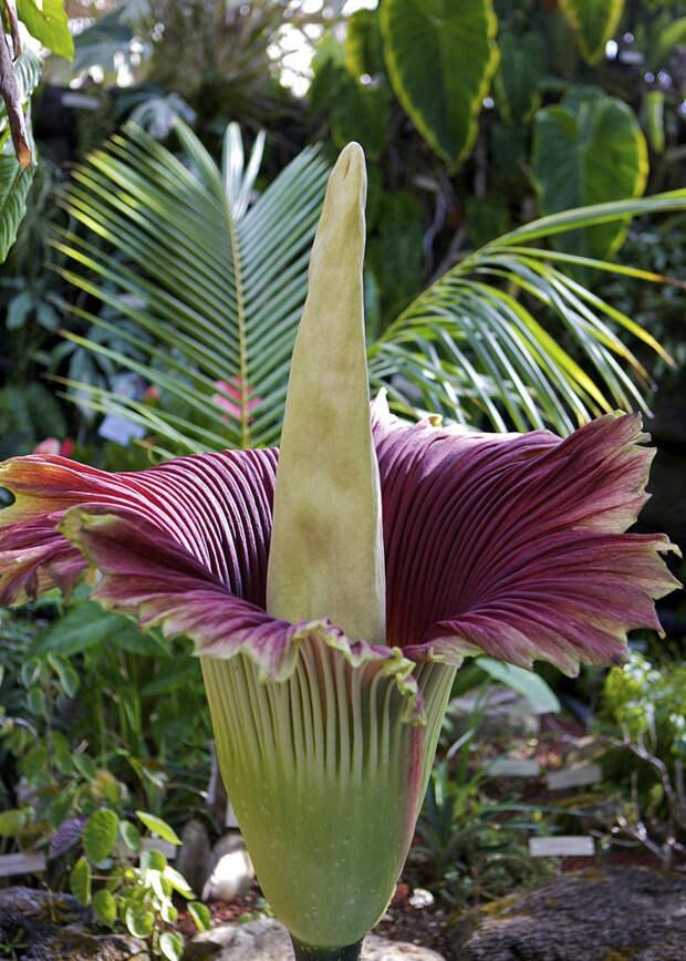 Расцвел самый большой и дурно пахнущий цветок в мире