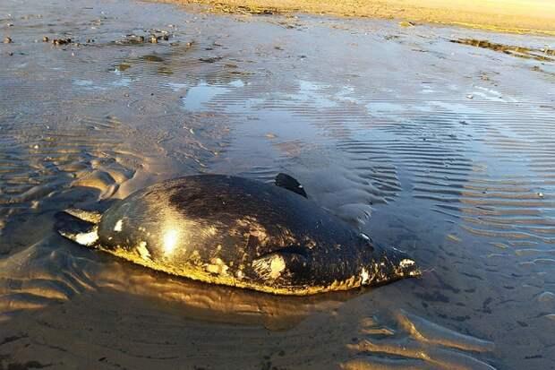 Этого детеныша тюленя нашли возле Сестрорецкого курорта Фото: СОЦСЕТИ