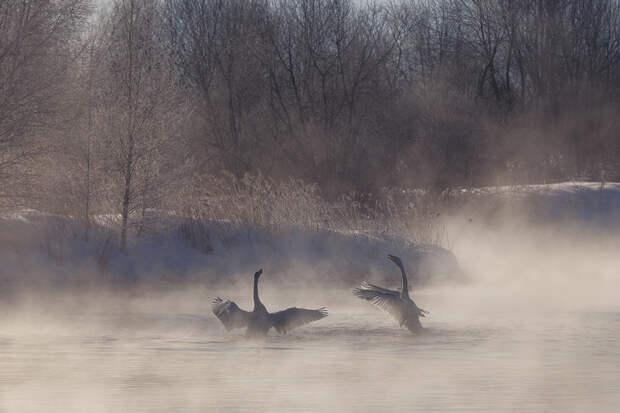 Белые лебеди, белая зима: утонченность самой природы