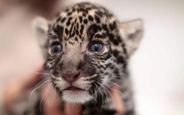 Детёныш ягуара