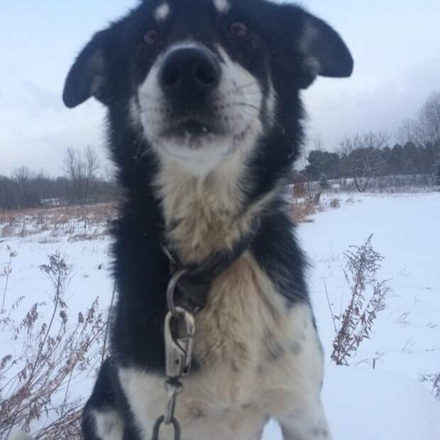 5. Кольберт (Colbert) - 5 лет животные, истории, мило, работа, собака, собаки, упряжка, фото