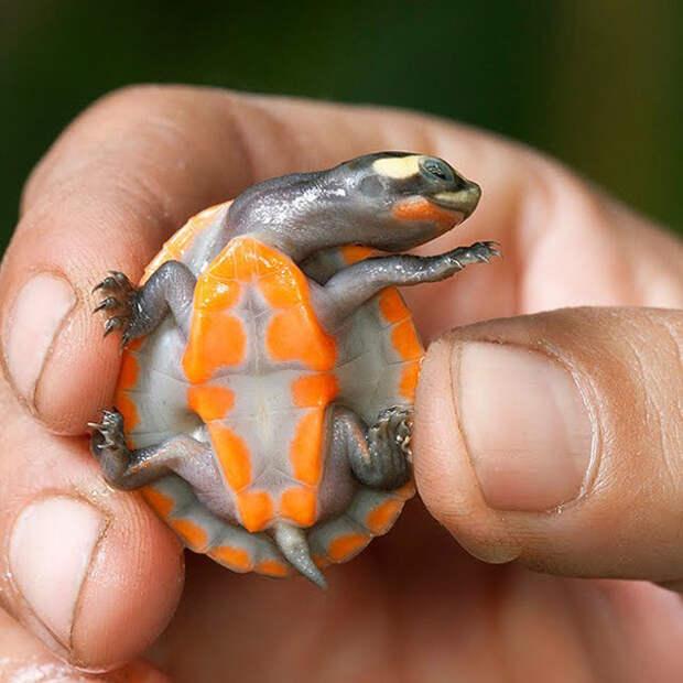 3. Ярко-оранжевый животик! ниндзя, питомцы, черепахи