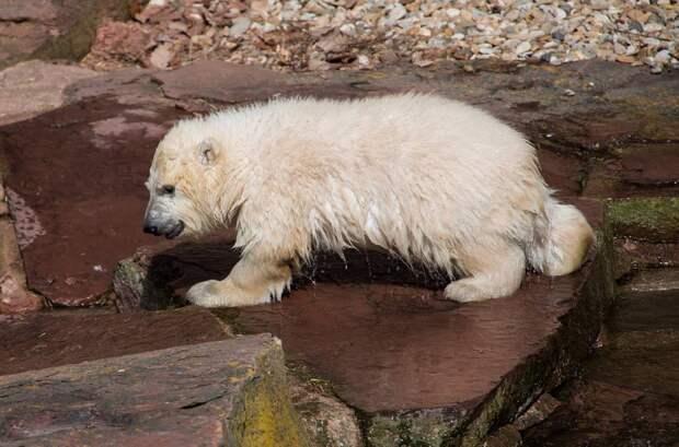 «Ищет маму»: осиротевший белый медвежонок вышел к людям на севере Красноярского края