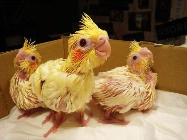 Попугайная ферма: домашнее разведение пернатых
