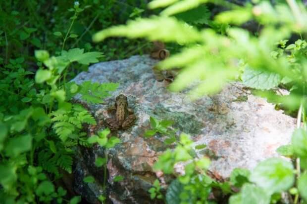 Царевны сада. Каких лягушек можно увидеть на участке?