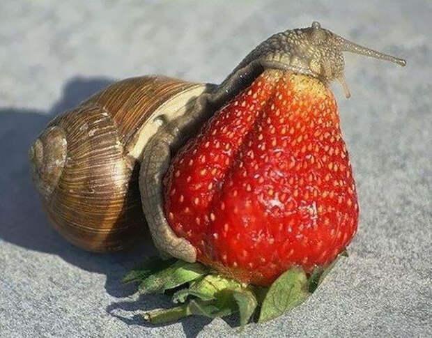 Улитка и клубника животное, фрукт, ягода