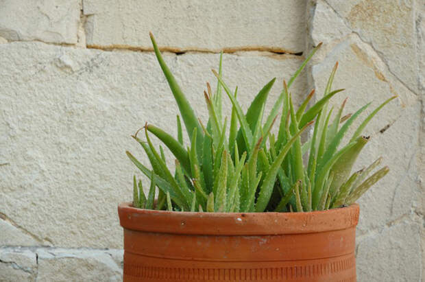 Комнатные растения, которые могут убить человека