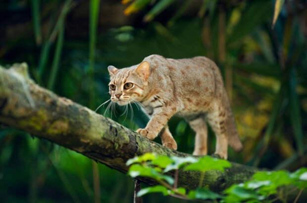24. Рыжая пятнистая кошка кошки, природа