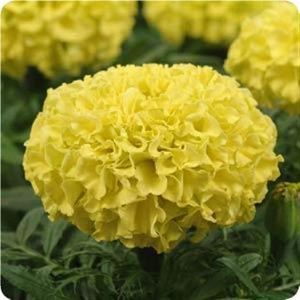 tagetes_taishan_yellow (560x560, 204Kb)