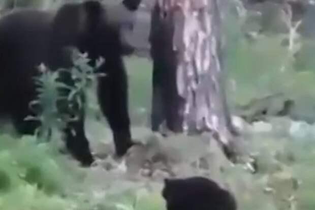 В Якутии кот прогнал медведя и спас своих хозяев