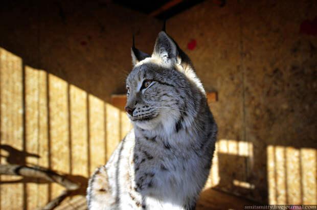 """Рысь Ариша переехала из Кавалерово, очень ласковая кошка, несмотря на внушительные размеры.  """"Чудесный"""", Семейный, зоопарк, уссурийск"""