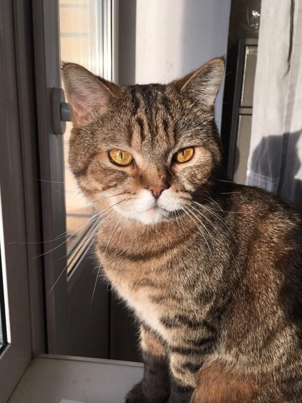 Шотландский прямоухий котик Тимоша остаётся без передержки и без дома. Кто сможет помочь??