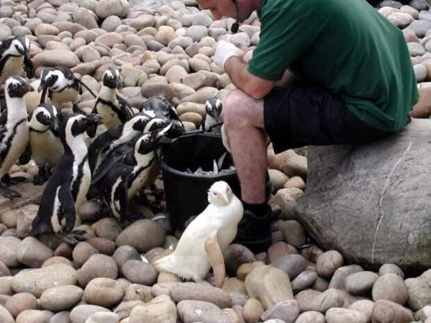 Альбинизм встречается не только у млекопитающих, птиц, рептилий, амфибий и рыб, но и у человека. На фото ослиный пингвин-альбинос.