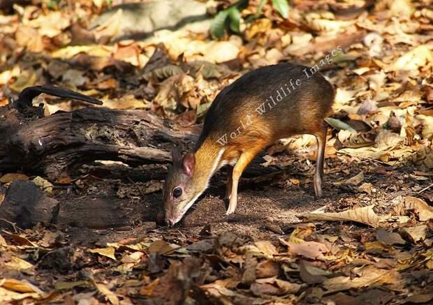 Javamousedeer08 Канчиль   удивительный олень малютка из тропиков