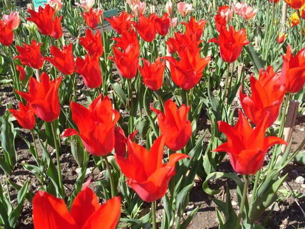 Тюльпан сорт Red Chine