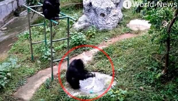 Шимпанзе научился стирать одежду